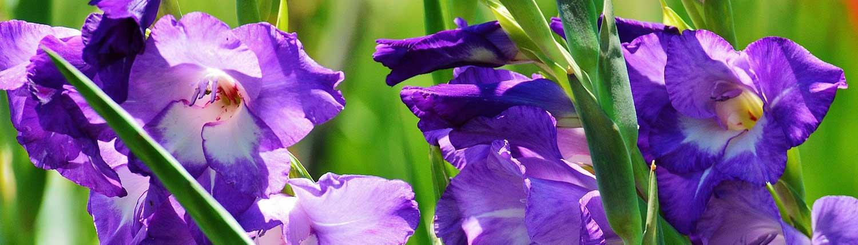 fiore di gladiolo