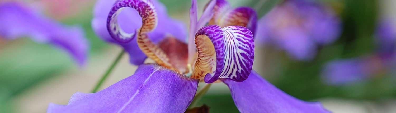 l' eleganza di un fiore di Iris