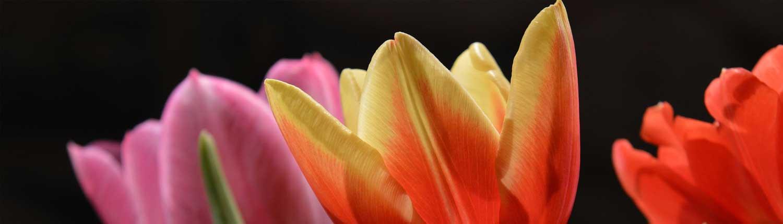 i tulipani sono il simbolo della prim