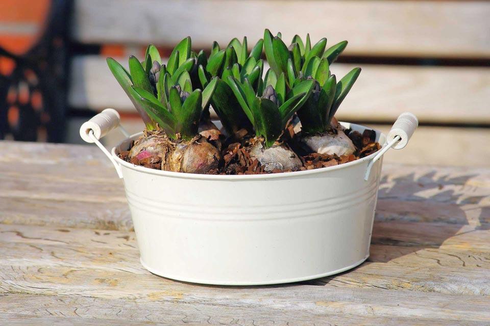 i bulbi possono essere piantumati in vaso o nel giardino