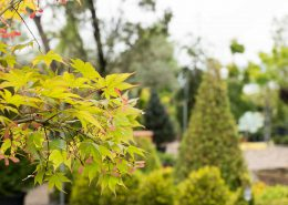 le stupende foglie di un acero