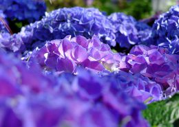 stupenda fioritura di ortensie