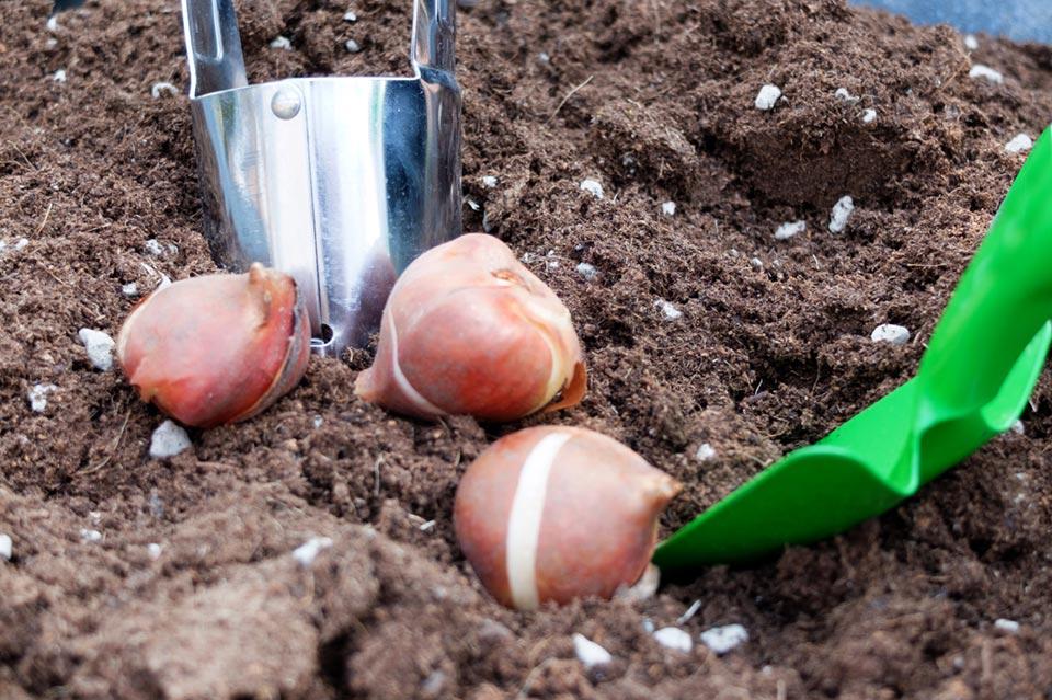 bulbi, paletta, pianta bulbi e terriccio