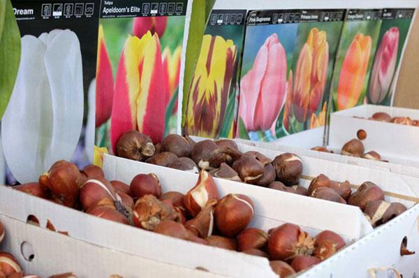 grandi varietà di bulbi per le fioriture primaverili e autunnali