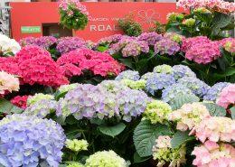 ortensi fiori da esterno