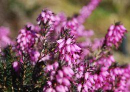 fiori di erica