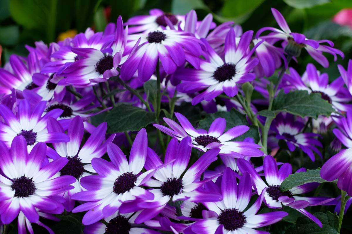 I colori molto vivaci la rendono particolarmente apprezzata per macchie di colore o per contrasti