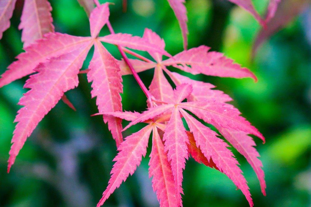 Vivaio Acero Rosso : Acero rosso floricoltura quaiato