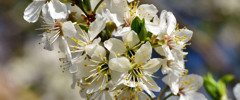 fioritura primaverile pianta da frutta