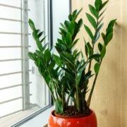 Zamioculcas: pianta e sua cura