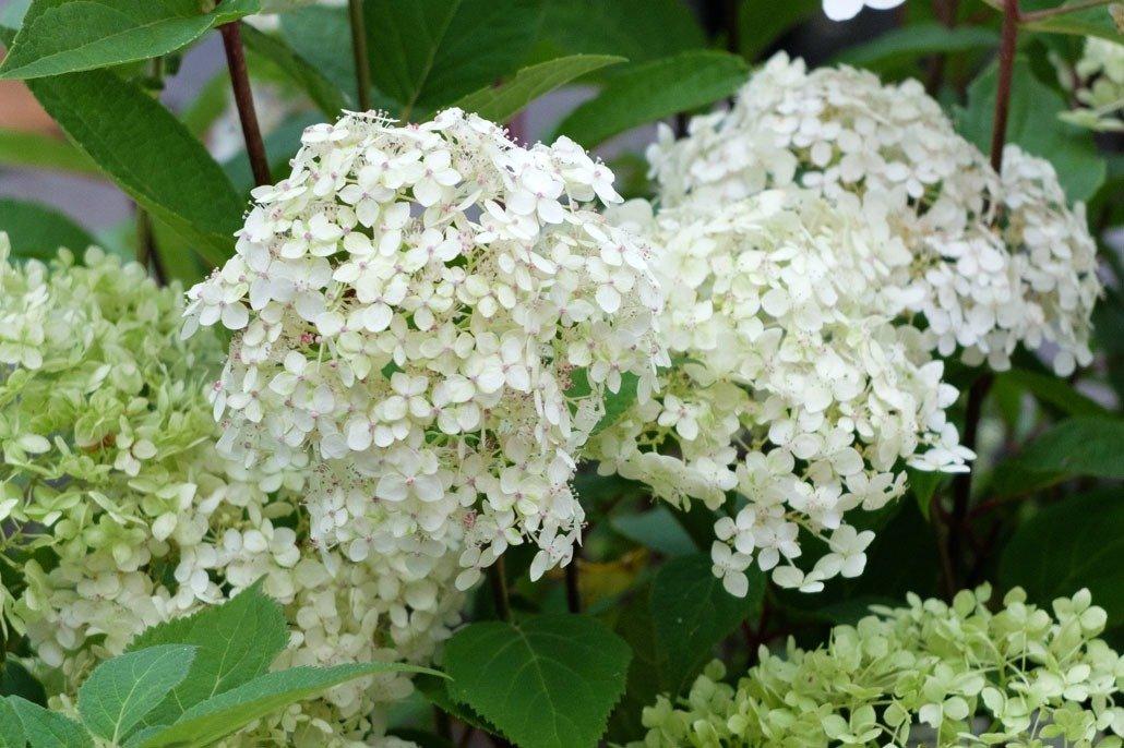 Fiori di Ortensia Paniculata