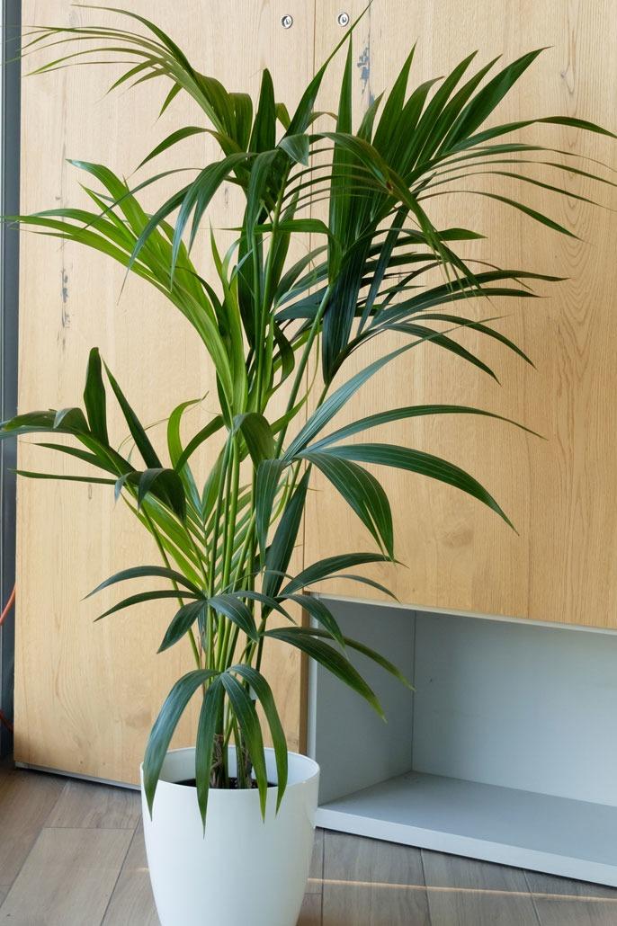 Kenzia o Kentia la palma sempreverde da appartamento