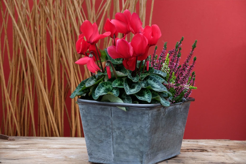 Ciclamino rosso da vaso