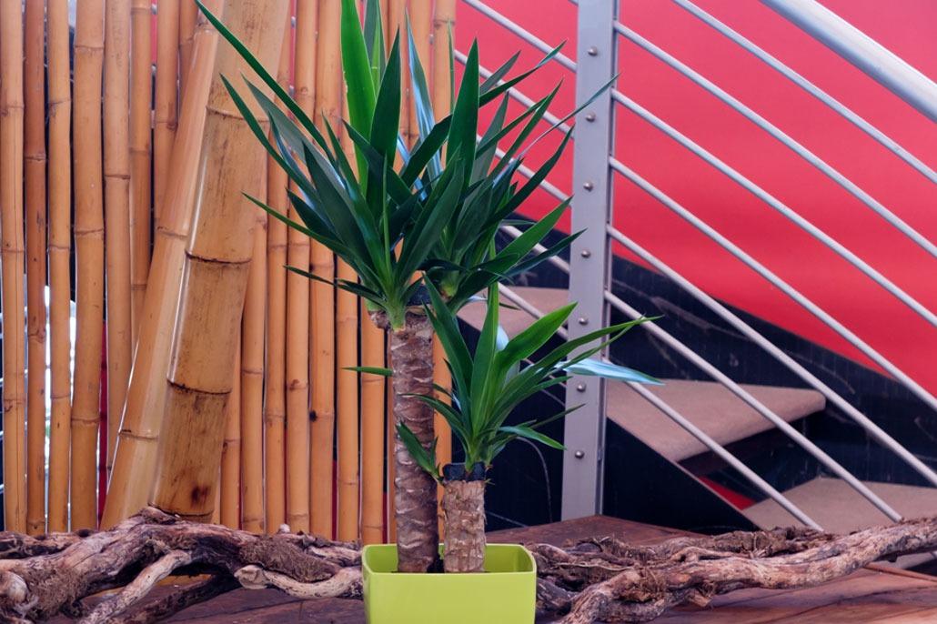 Yucca pianta da appartamento