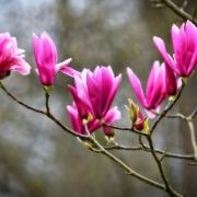 Magnolia da Fiore
