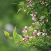 Pianta di abelia in fioritura
