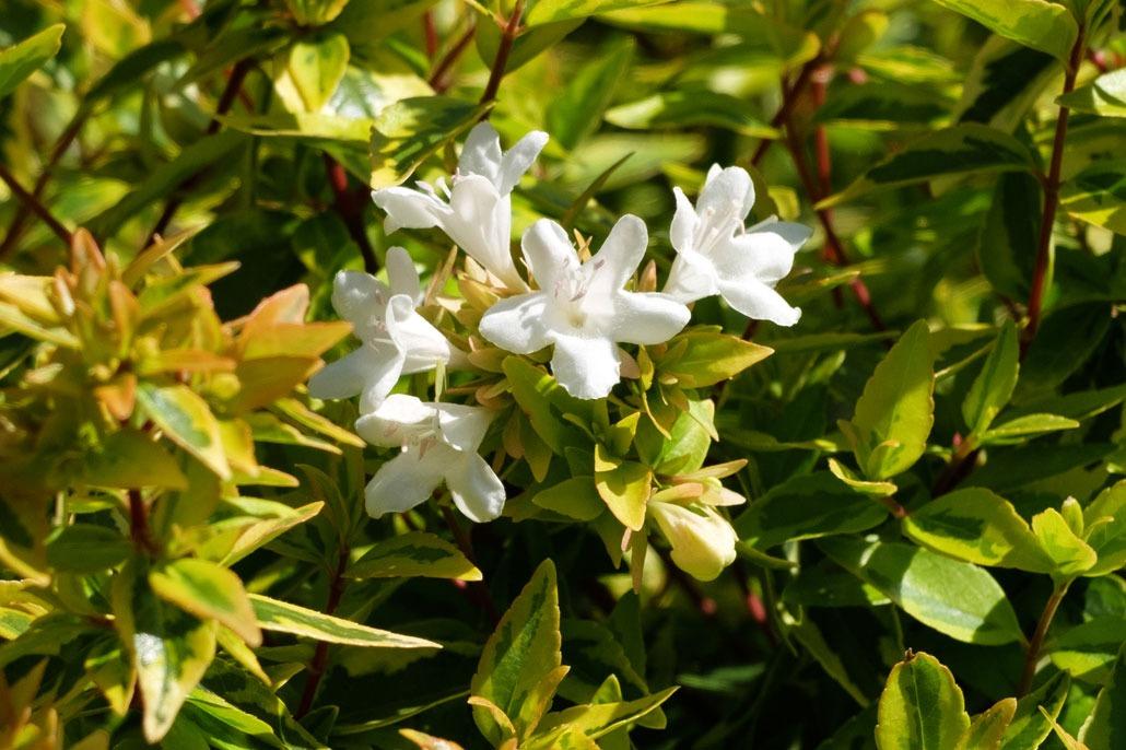 Abelia in fioritura