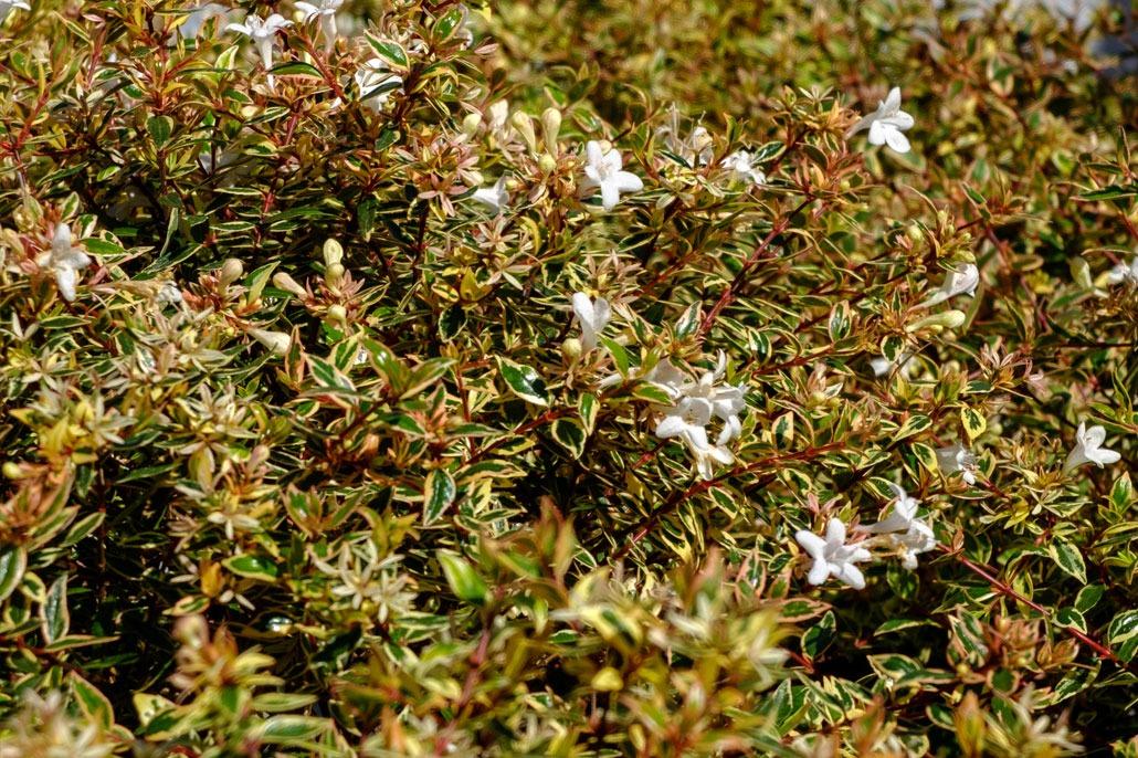 Abelia fiore bianco