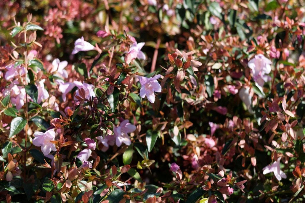 Abelia fiore rosa