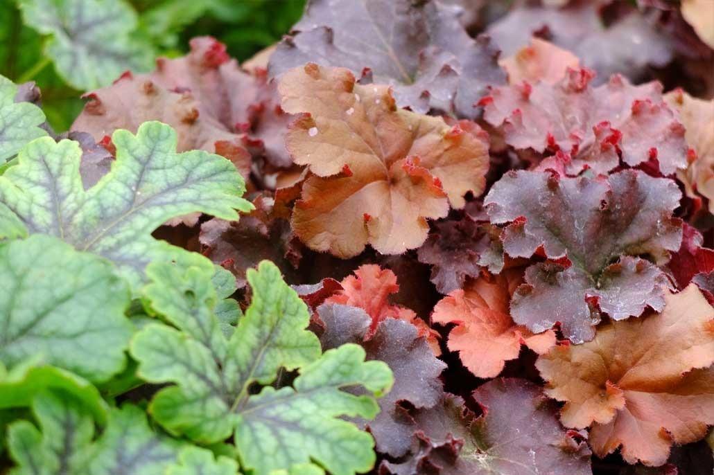 L' heuchera è una pianta perenne particolarmente apprezzata per le sue grandi foglie decorative, molto colorate e persistenti.