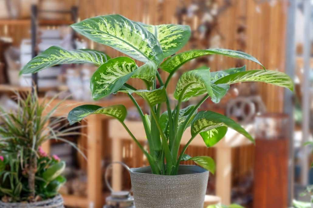La Dieffenbachia è tra le piante che purificano l'aria