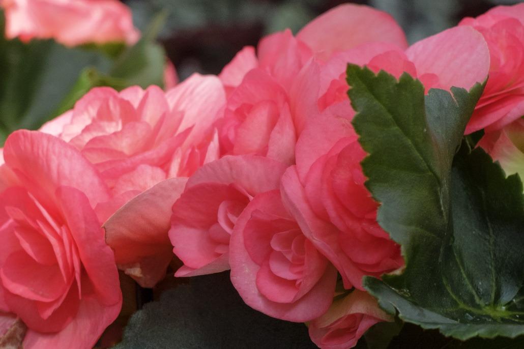 Come coltivare la Begonia