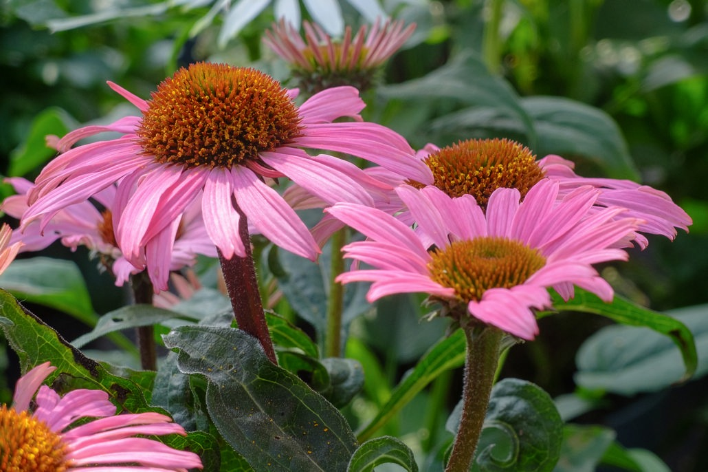 Fiori rosa di pianta di Echinacea
