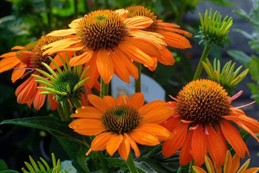 Splendidi fiori di Echinacea