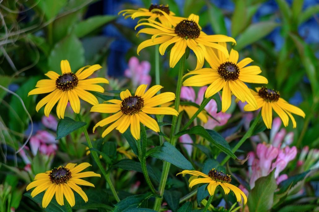 Fiori di Rudbeckia in piena fioritura