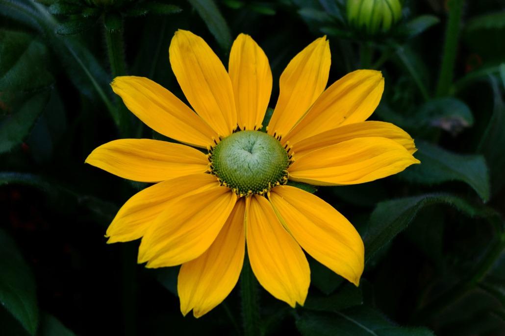 Fiore giallo caldo di una Rudbeckia