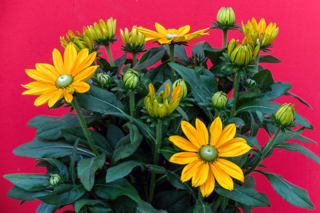 Vaso con splendidi fiori di Rudbeckia