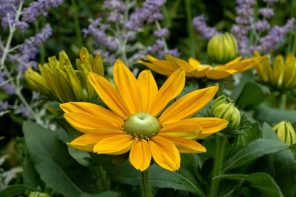 le Rudbeckia sono piante facili per abbellire il terrazzo