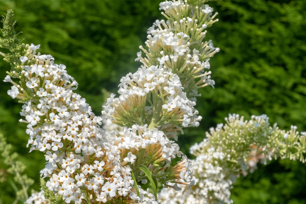 buddleja davidii bianca - Albero delle farfalle