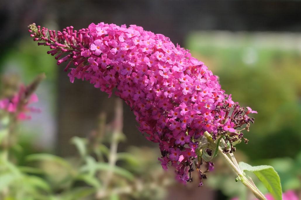buddleja davidii fioritura