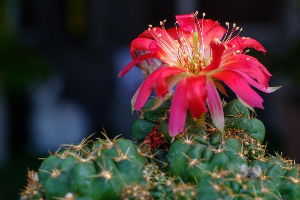 Piante-Grasse Gymnocalycium in fiore