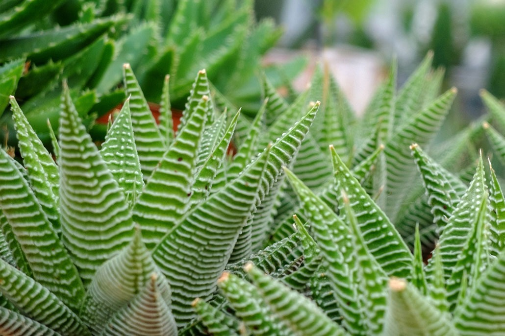 Piante Grasse Haworthia fasciata