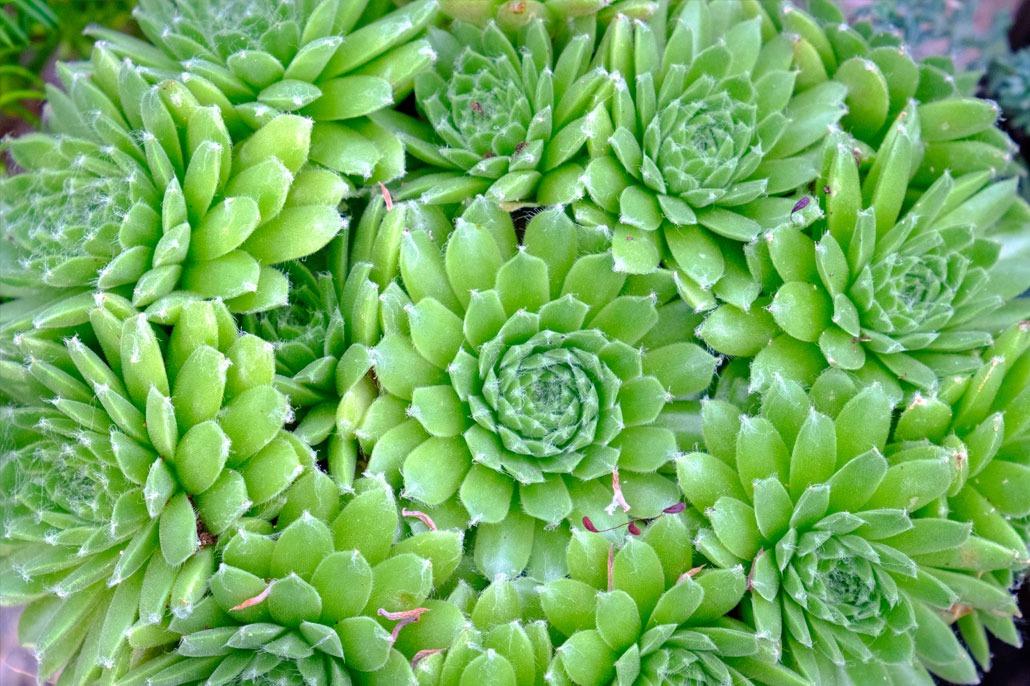 semprevivum - Consigli coltivazione e cura