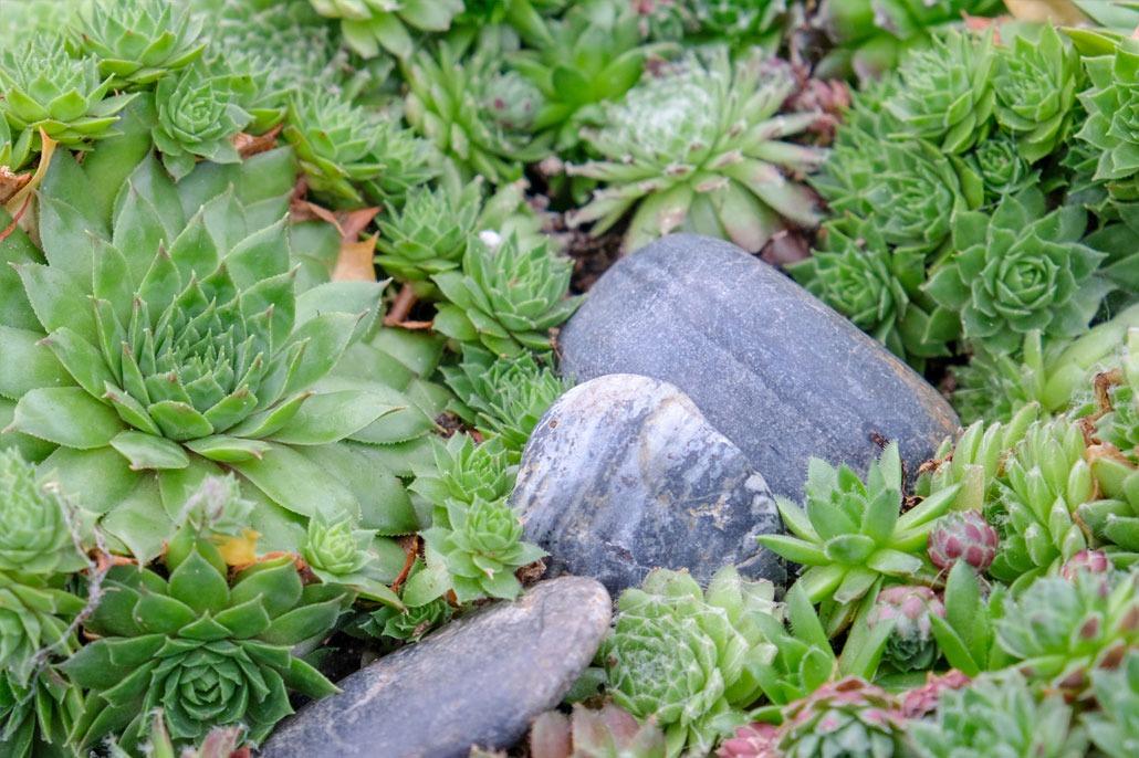 i Sempervivum sono piante grasse perfette per il roccioso