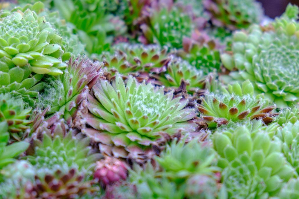 Sempervivum piante succulente