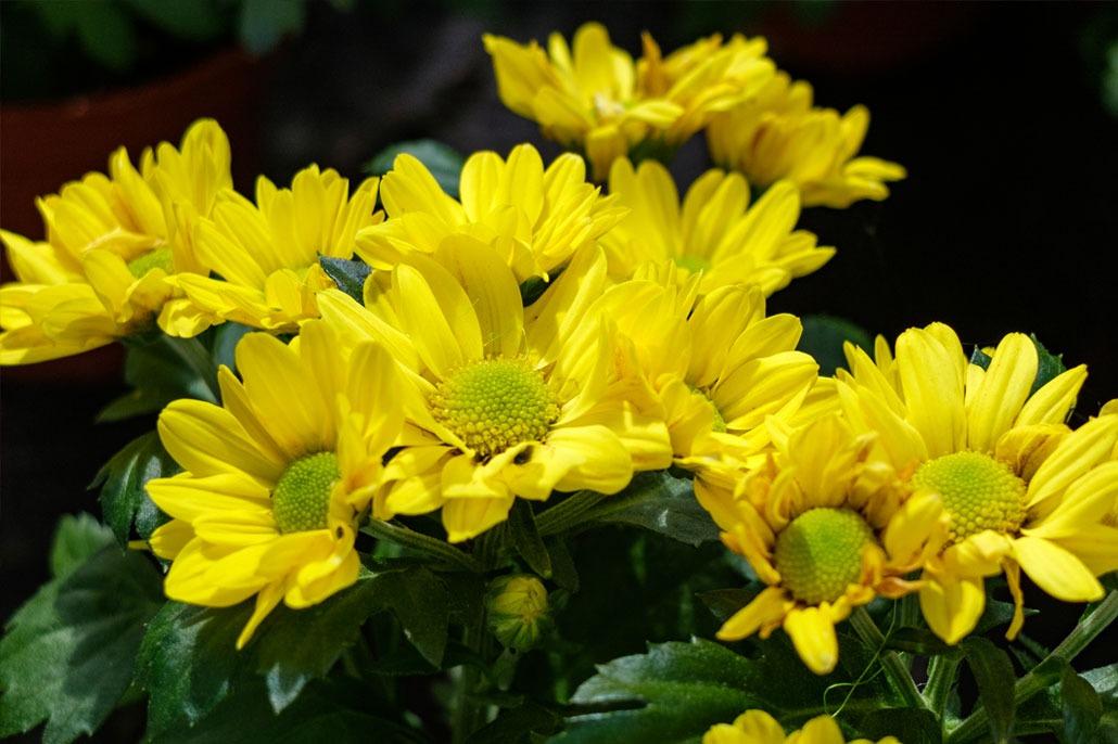 Sancarlini Fiore Giallo