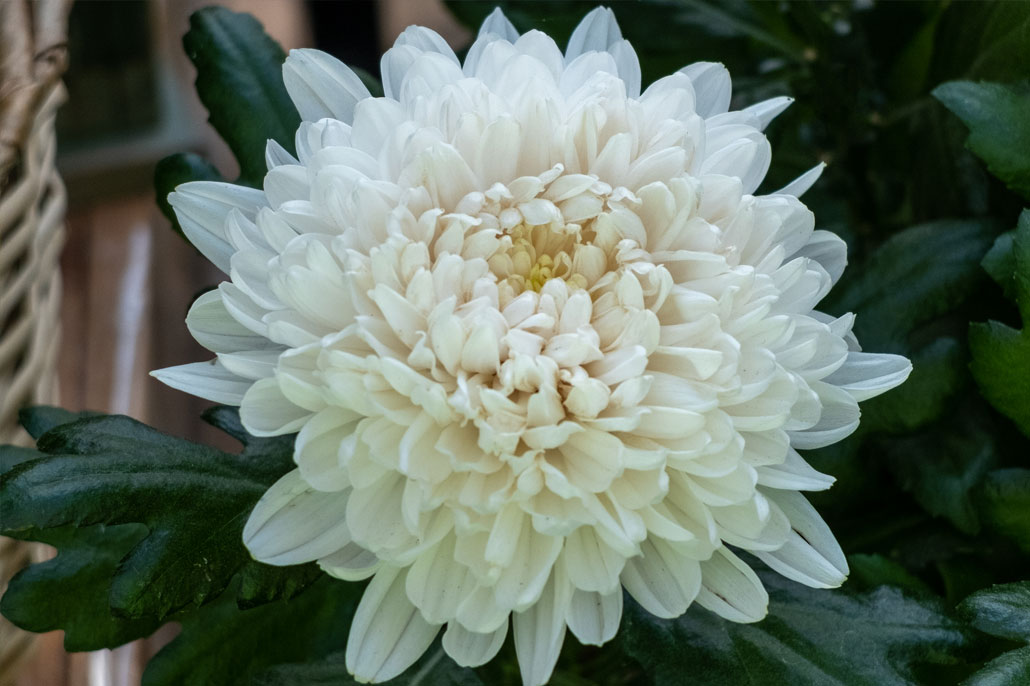 Chrysanthemum ovvero SanCarlino
