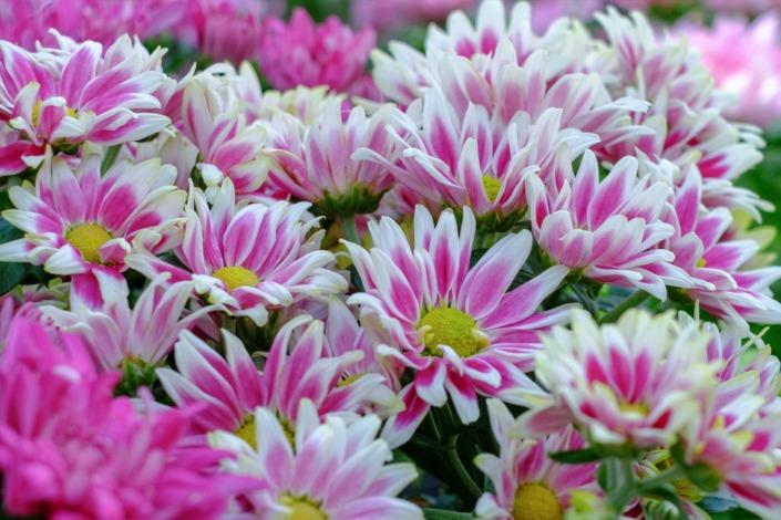 Stupenda fioritura di sancarlini