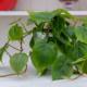 Pothos - Come curare e coltivare il vostro potos