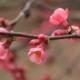 """Chaenomeles detto comunemente """"cotogno giapponese, cotogno da fiore"""" o """"fior di pesco"""""""